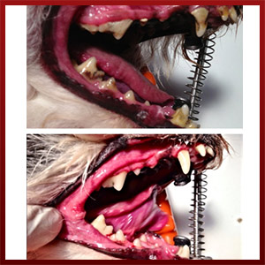 Howell Animal Hospital Before and After Dental Image