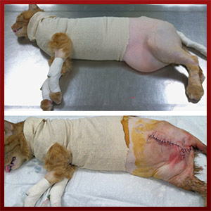 Howell Animal Hospital Before and After Surgical Image